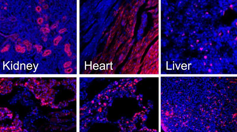 Ученые создали эмбрионы свиньи с клетками человека