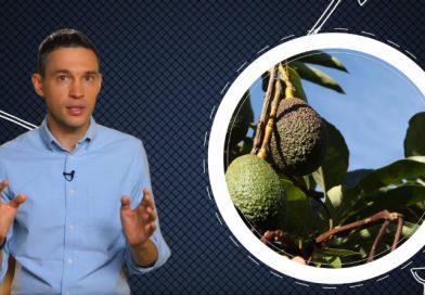 Малозёмов проверит: авокадо — фрукт или овощ?