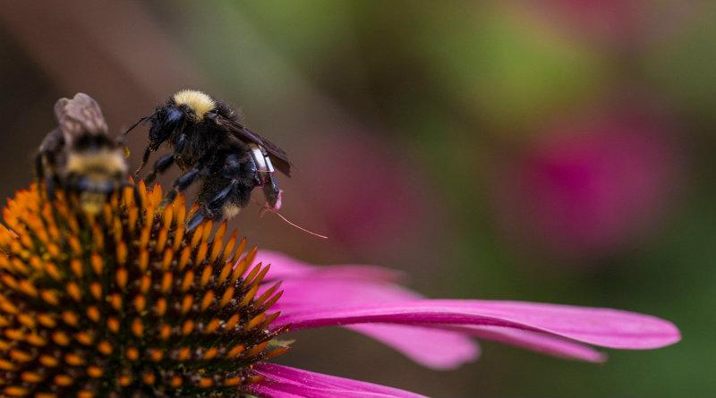 Пчела с чипом | Фото: Engadget