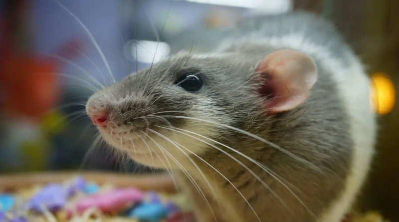 Крыса | Фото: minutemediacdn