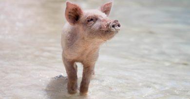Huawei переключился на…свиней